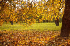 Golden leaves on branch, autumn wood with sun rays Stock Photos