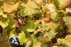 Golden leaves. Bright shine of the leaves in autumn Stock Photography