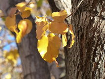Golden Leaves of Fall Stock Photo