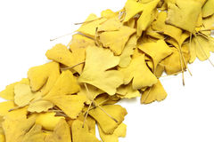 Golden leaves of ginkgo Royalty Free Stock Photography