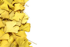 Golden leaves of ginkgo Stock Photos