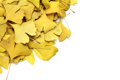 Golden leaves of ginkgo Royalty Free Stock Image