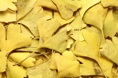Golden leaves of ginkgo Stock Images