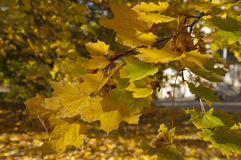 Golden Leaves. The group of golden maple leaves close up at sunny autumn midday Stock Images