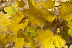 Golden Leaves. The group of golden maple leaves close up at sunny autumn midday Stock Photography