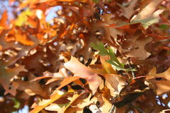 Golden leaves II. Bright shine of the leaves in autumn Stock Image