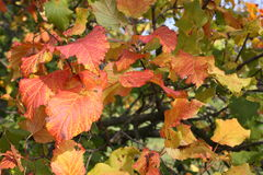 Golden leaves III. Bright shine of the leaves in autumn Stock Photos