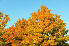 Golden Leaves In The Sunshine . Autumnal Scene Stock Images