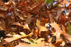 Golden leaves IV. Bright shine of the leaves in autumn Stock Images