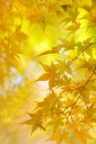 Golden leaves of japanese maple tree. And abstract autumnal background royalty free stock photos