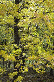 Golden Leaves. An oak tree displaying bright yellow leaves in fall Stock Image