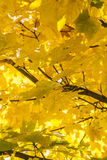 Golden leaves. Stock Photography