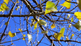 Golden leaves of poplar on tree against blue sky. Calm natural background stock video