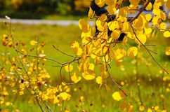 Golden Leaves. Golden Quaking Aspen leaves in the Fall stock photo