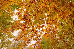 Beech leaves. An array of the autumnal colours of a beech tree Royalty Free Stock Photography