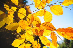 Golden Leaves in Sunlight Royalty Free Stock Photos