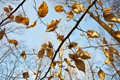 Golden leaves at the tree Royalty Free Stock Photos