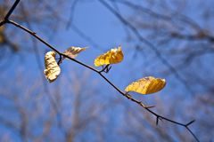 Golden leaves at the tree Stock Image