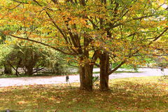 Golden leaves tree. Autumn in park Stock Images