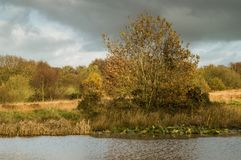 Golden leaves on a tree by the bank of a pond, with lily pads royalty free stock image