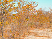 Golden leaves on trees and dry ground of African bush. Royalty Free Stock Photography