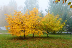 The golden leaves of trees in fog Royalty Free Stock Images