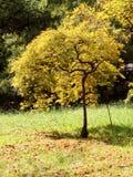 Golden leaves trees in Japanese garden Stock Photography