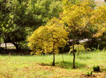 Golden leaves trees in Japanese garden Royalty Free Stock Photo