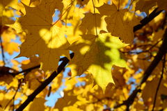 Golden leaves in Victory Park Royalty Free Stock Photo