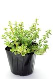 Golden lemon thyme Royalty Free Stock Photo