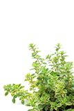 Golden lemon thyme Royalty Free Stock Photography