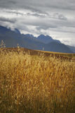 Golden light brightens up this wheat field landscape with dramatic mountain background Royalty Free Stock Photography