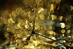 Golden light. Dandelion seed sprinkled with colors Stock Photos