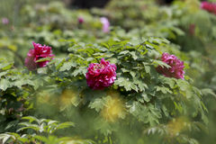 In the golden light dark red peony Stock Photography