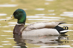 Golden light. A drake mallard duck sitting in water with golden reflection Royalty Free Stock Photos