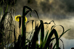 Golden light of early morning from Wild flower of beautiful yellow iris. Summer pond, dawn, first rays of sun. Seasons Stock Photo