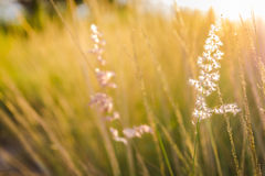 Golden light with grass flower Royalty Free Stock Photography