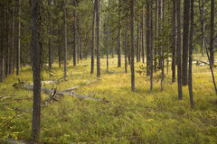 Golden light on grass, pine forest, Teton National Park, Wyoming Stock Image