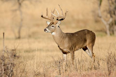 Golden light on nice typical whitetail buck Royalty Free Stock Image
