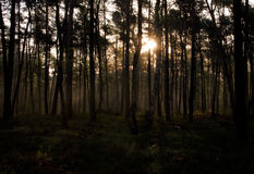 Golden light shining through pine tree forest at sunrise. Beautiful sunrise through dence forest royalty free stock images