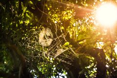 The golden light of the sun shines through the spider& x27;s web on plants stock images