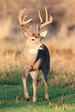 Golden light on whitetail buck Royalty Free Stock Photography