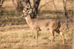 Golden light on a whitetail buck Royalty Free Stock Photography