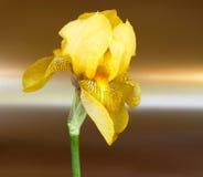 Golden lily Stock Photos