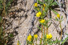 Golden Linanthus Leptosiphon aureus blooming in Joshua Tree National Park, California stock photography