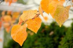 Golden linden branch Stock Image