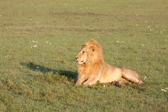 Golden Lion Stock Photography