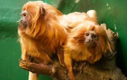Golden Lion Headed Tamarin. Pair of Tamarin wait for feeding time. Also known as the Golden Marmoset stock photography