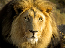 Golden lion Leo panthera Stock Image