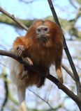 Golden lion tamarin. Small tamarin sitting on a branch waiting for food Stock Image